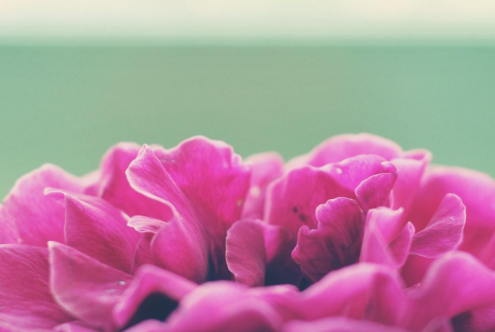rose, up close