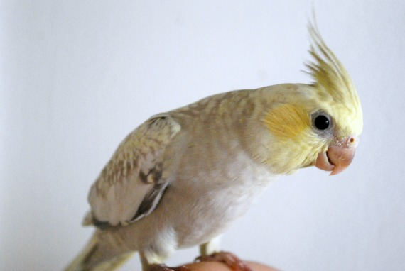 Buttercup-Cinnamon Yellow Face Cockatiel