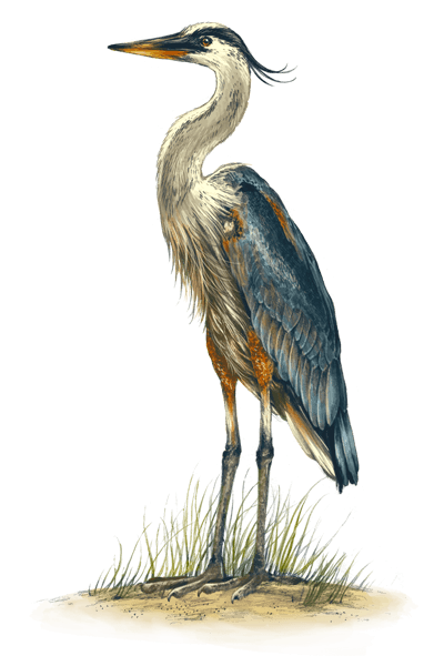 great_blue_heron_400x600