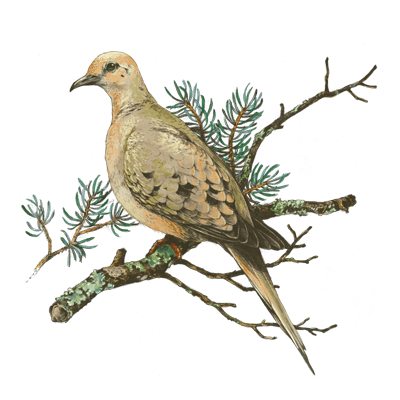 mourning_dove_400x400